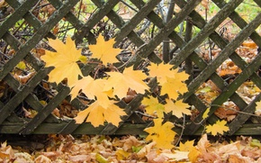 Picture leaves, sheet, widescreen, Wallpaper, the fence, wallpaper, maple, widescreen, background, the Wallpapers, full screen, HD ...
