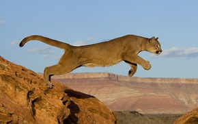 Wallpaper cat, predator, Puma, Africa, rocks, jump
