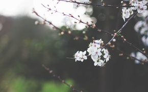 Picture greens, the sky, macro, trees, flowers, branches, nature, cherry, branch, branch, spring, petals, blur, white, …