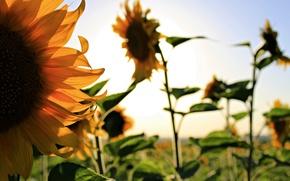 Picture summer, sunflowers, flowers, garden