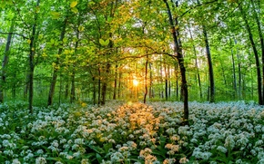 Picture the sun, thickets, flowering, Grove