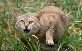 Picture face, fangs, wild cat, Scottish, The Scottish Wildcat
