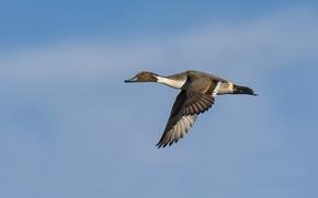 Picture the sky, flight, bird, wings, wildlife, Pintail