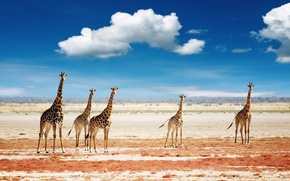 Picture the sky, clouds, giraffes