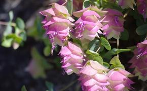 "Picture macro, inflorescence, Round-leaved oregano ""Kent Beauty"", Origanum rotundifolia"