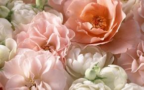Picture macro, pink, roses, petals, tea rose