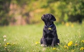 Picture flowers, dog, puppy, dandelions, lawn, Labrador Retriever