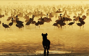 Picture water, hyena, Flamingo