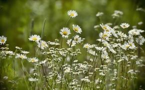 Picture summer, nature, chamomile