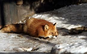 Picture winter, nature, Fox
