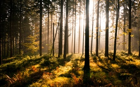 Picture greens, forest, trees, fern, the sun's rays