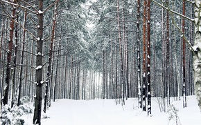 Picture winter, forest, snow, trees, trail, frost, track, forest, Nature, trees, the ranks, winter, snow, path, …