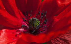 Picture Macro, Macro, Red Poppies, Red Poppy