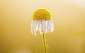 Picture flower, macro, Daisy
