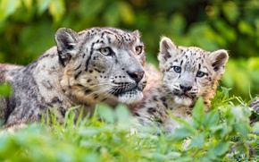 Picture greens, grass, look, cats, kitty, baby, snow leopard, wild cats, care, cub, zoo, child, mother, ...