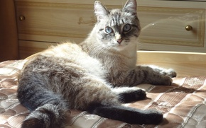 Picture cat, sofa, lies