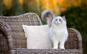 Picture autumn, cat, eyes, look, kitty, chair, fluffy, pillow, friendly, blue-eyed, ragdoll