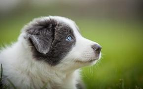 Picture grey, portrait, dog, puppy, blue eyes, blurred background, Wallpaper from lolita777, Aussie