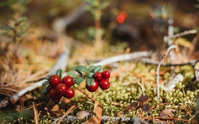 Picture forest, macro, nature, berries, cranberries