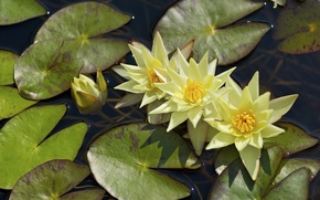 Picture leaves, water, Nymphaeum, water Lily