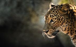 Picture cat, beast, Leopard