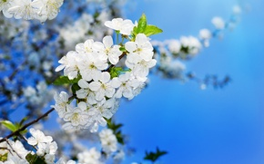 Picture the sky, cherry, spring, colorful, beautiful, blooming, cherry, blooming, Flowering trees