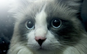 Picture eyes, cat, look, cat