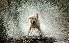 Picture water, drops, squirt, dog