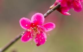 Picture flower, branch, petals, garden, stamens