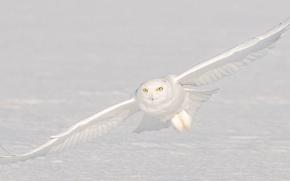 Picture snow, owl, flight, polar