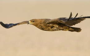 Picture flight, bird, wings, predator, stroke, Steppe eagle