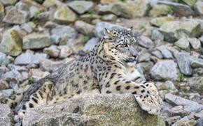 Picture stay, stone, predator, IRBIS, snow leopard