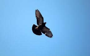 Wallpaper dove, the sky