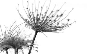 Picture flower, dandelion, seeds, fluff, fuzzes, flower, Dandelion, seed, seed, fluff, corollas