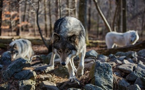Picture forest, look, stones, wolf, predator