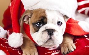 Picture look, dog, muzzle, puppy, cap, English bulldog