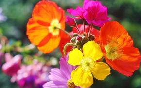Wallpaper flowers, nature, paint, Maki, petals