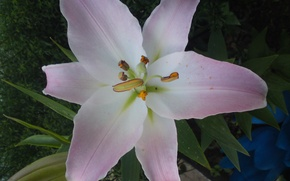 Picture white, flower, pink, Lily
