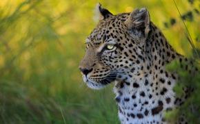 Picture face, portrait, leopard, wild cat, bokeh
