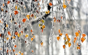 Picture frost, leaves, branches, autumn, freezing
