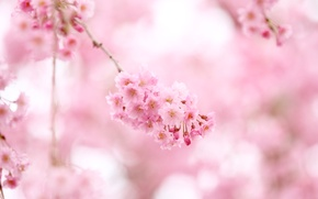 Picture tenderness, flowers, nature, branch, Sakura, pink, color, flowering, pink, spring