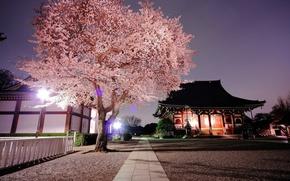 Picture temple, the evening, Japan, Japan, Sakura