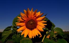 Picture flower, Sunflower, sunflower