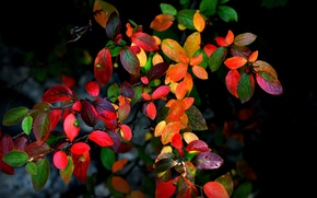 Picture autumn, leaves, branches, background, Bush