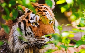 Picture tiger, animal, nature, tiger, big cat, hq Wallpapers