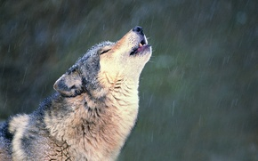 Picture snow, loneliness, Wolf, howl