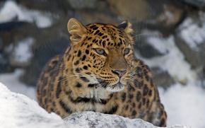 Picture mustache, look, face, leopard