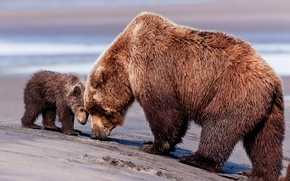 Picture bear, bear, mom, brown bear, son, brown bears