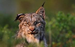 Wallpaper predator, lynx, Felis lynx