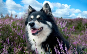 Picture field, dog, lavender